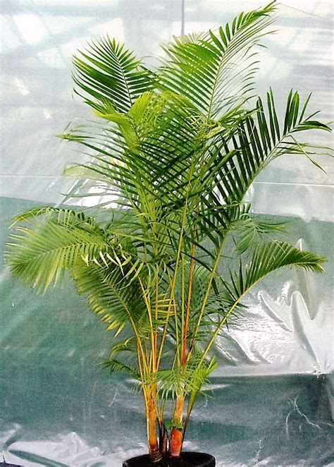 buy dypsis lutescens golden cane palm