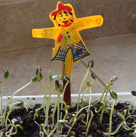sprouting sunflower seeds   fun scarecrow craft