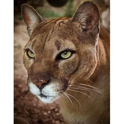 Puma concolorFlickr - Photo Sharing!