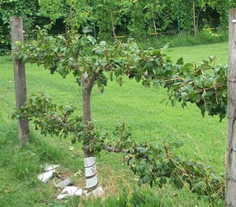 pear espalier whizbang trellis instruction a new ideafor growing grapes