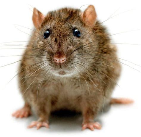 hirnforschung ratte verarbeitet information  gut wie