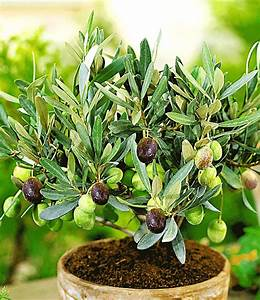 Olivenbaum Pflege Im Topf : olive obst a z bei baldur garten ~ Buech-reservation.com Haus und Dekorationen