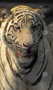 A Wild Life Shot Of A White Tiger Stock Photo - Image of ...