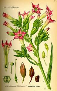 Nicotiana tabacum - Wikispecies
