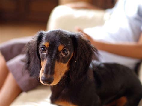 Filedachshund Longhaired Puppy Jpg Wikimedia Commons