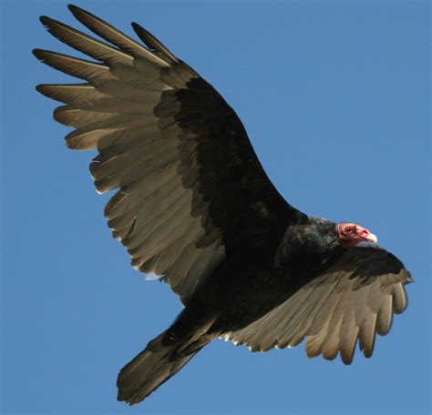 Turkey Vulture Images Bowdish Home Page