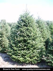 6 7 foot fraser fir tree