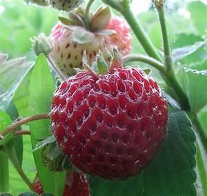 Plant De Fraise : graines de fraises framberry plants donnent de d licieux ~ Premium-room.com Idées de Décoration
