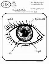 Eye Coloring Human Diagram Anatomy Science Parts Pages Body Bible Da Lessons Drawing Lesson Activities Printables Salvato Google Books Clipart sketch template