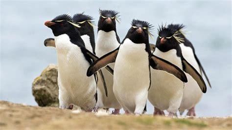 fondo de pantalla de pinguinos graciosos  fondo