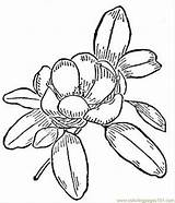 Magnolia Coloring Pages Flower Printable Flowers Drawing Nature Vector Adult Bible Natural Getdrawings Getcolorings Supercoloring sketch template