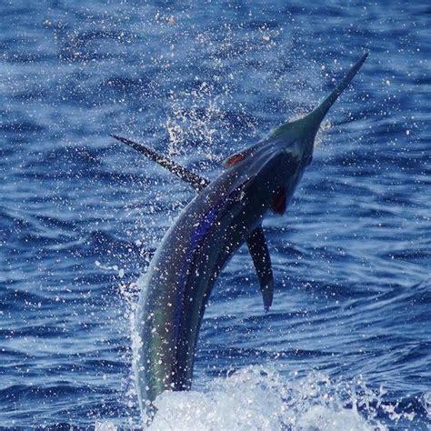 marlin florida fishing miami fish