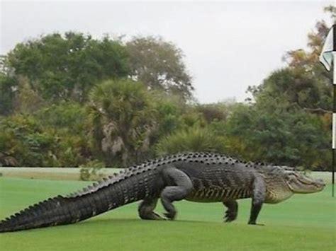 alligator walking across golf course looks golfdigest hell monster