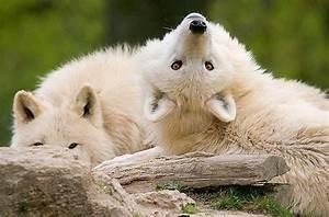 Bébé Loup Blanc : loup blanc ~ Farleysfitness.com Idées de Décoration