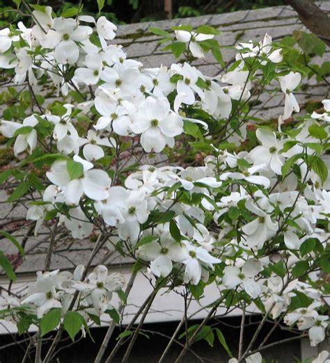 large flowering trees dogwood plant