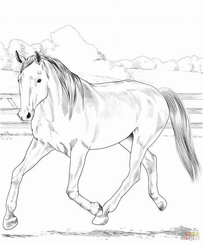 Coloring Warmblood Horse Dutch Horses Pferde Printable