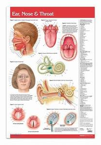 Ear Nose Throat Poster