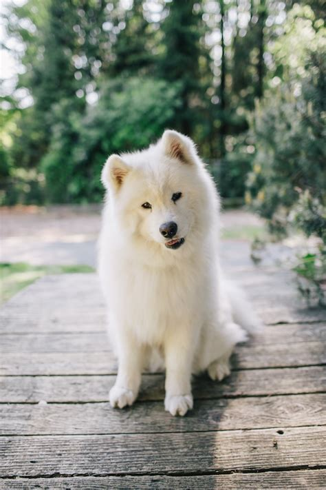 Itty Bitty And Fluffy Pet Session Shamrock The Samoyed