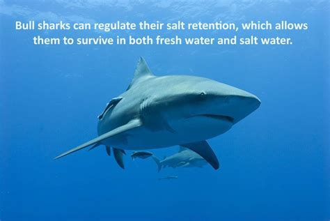 Interesting Facts About Bull Sharks