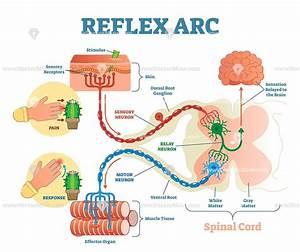 Spinal Reflex Arc Anatomical Vector Illustration Diagram