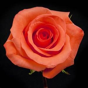 Impulse Rose In Bulks
