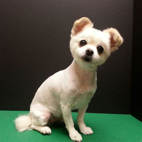cute chihuahua mix short puppy cut dog grooming dog