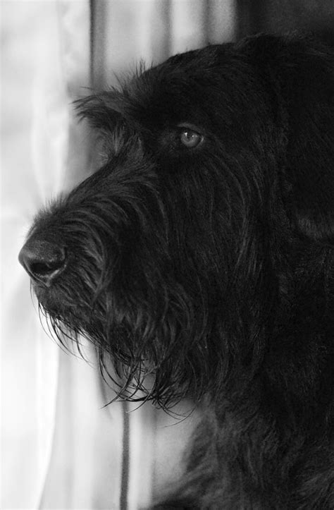 Pin by Stacy Williams on Fur Babies   Giant schnauzer