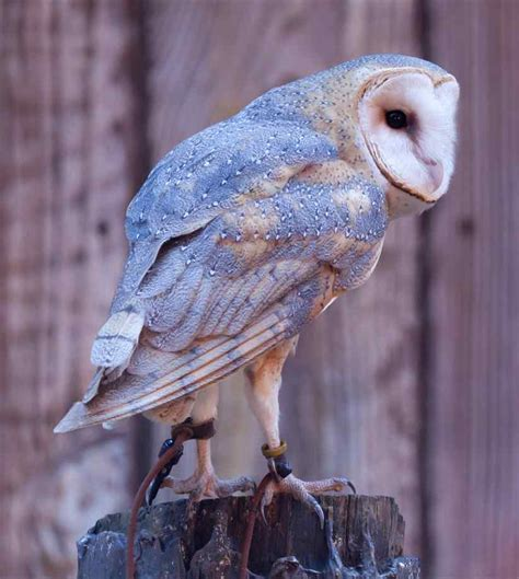 Barn Owls Pictures - XciteFun.net