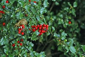 Growing Holly Bushes: How To Grow And Care Of Holly Bushes ...