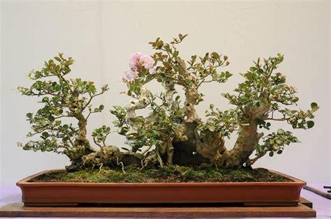 17 best images about c myrtle bonsai on