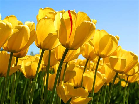 Hd Tulip Picture by Tulips Flowers Nature Yellow Flowers Wallpapers Hd