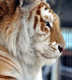 Best The Majestic Tiger Images Big Cats