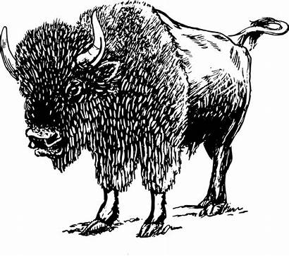 Bison Buffalo Debout Animaux Clip Gratuite Pixabay