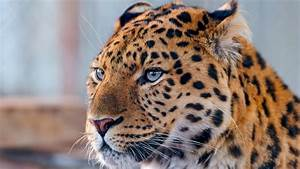 Animals Leopard Photos Free HD Wallpapers Download