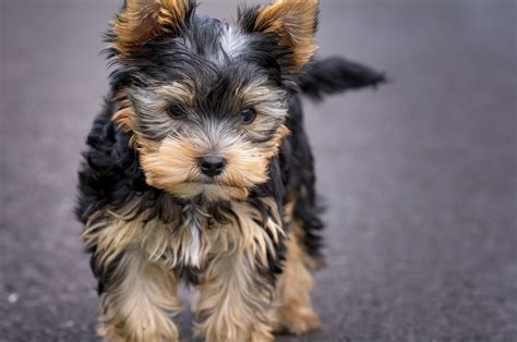 Yorkie Puppies Images Yorkie Puppies Wallpaper 51 Images