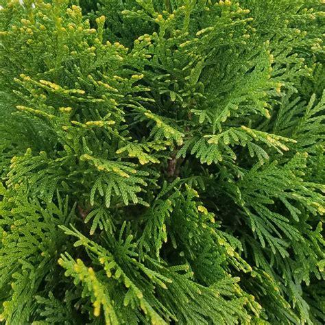 deck shade options 2 5 qt emerald green arborvitae thuja live evergreen