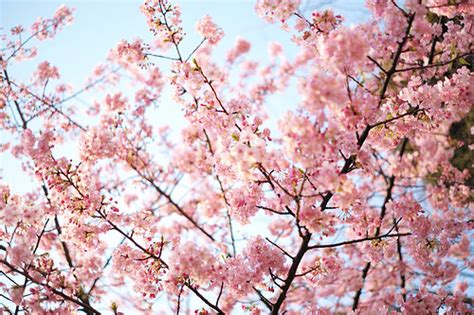 Goodwill Vienna Va by Celebrate A Canopy Of Cherry Blossoms During