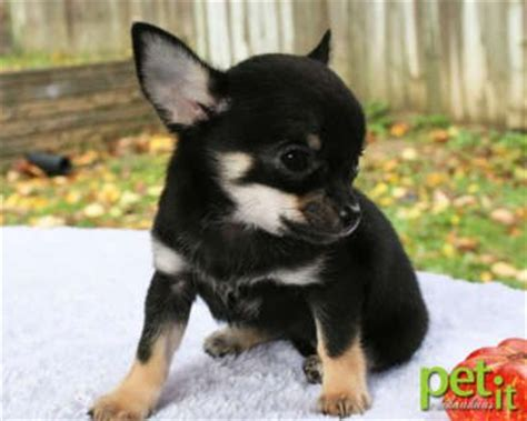 beautiful black tri smooth coat apple head chihuahua