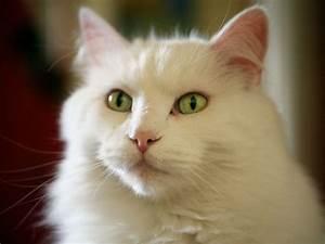 White cat green eyes wallpaper | 1600x1200 | #14556