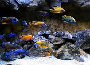 Aquarium Fish African Cichlids