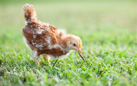 No, Chickens Are Not Vegetarians  Mnn  Mother Nature Network