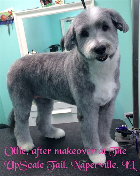 ollie  bearded collie  grooming  upscale tail