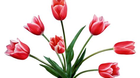 Tulip Image Desktop 2 by Tulips Flower Wallpapers Pixelstalk Net