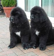 Best Newfoundland Puppies Ideas And Images On Bing Find What You