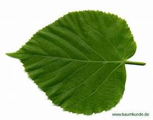 Linde Baum Steckbrief : sommer linde tilia platyphyllos blatt blattoberseite bestimmen sommer linde ~ Orissabook.com Haus und Dekorationen