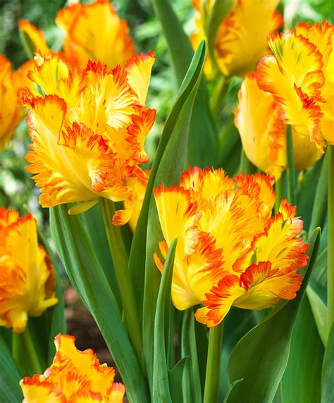 buy parrot tulips caribbean parrot bakkercom