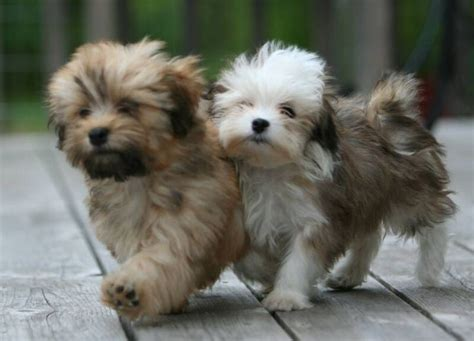 cute dog breeds that dont shed more dog breeds picture