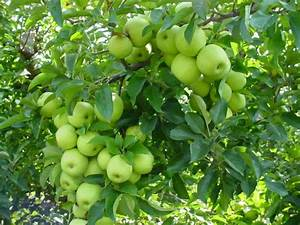 green apple tree | Chartreuse Gardenscapes | Pinterest