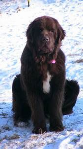 Color Chart Moore Family Newfoundlands More