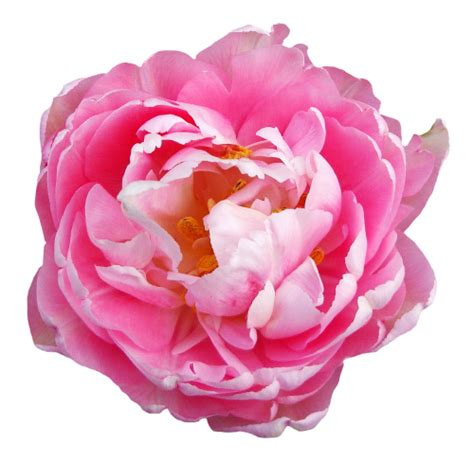 rose flower pink transparent png image pngpix